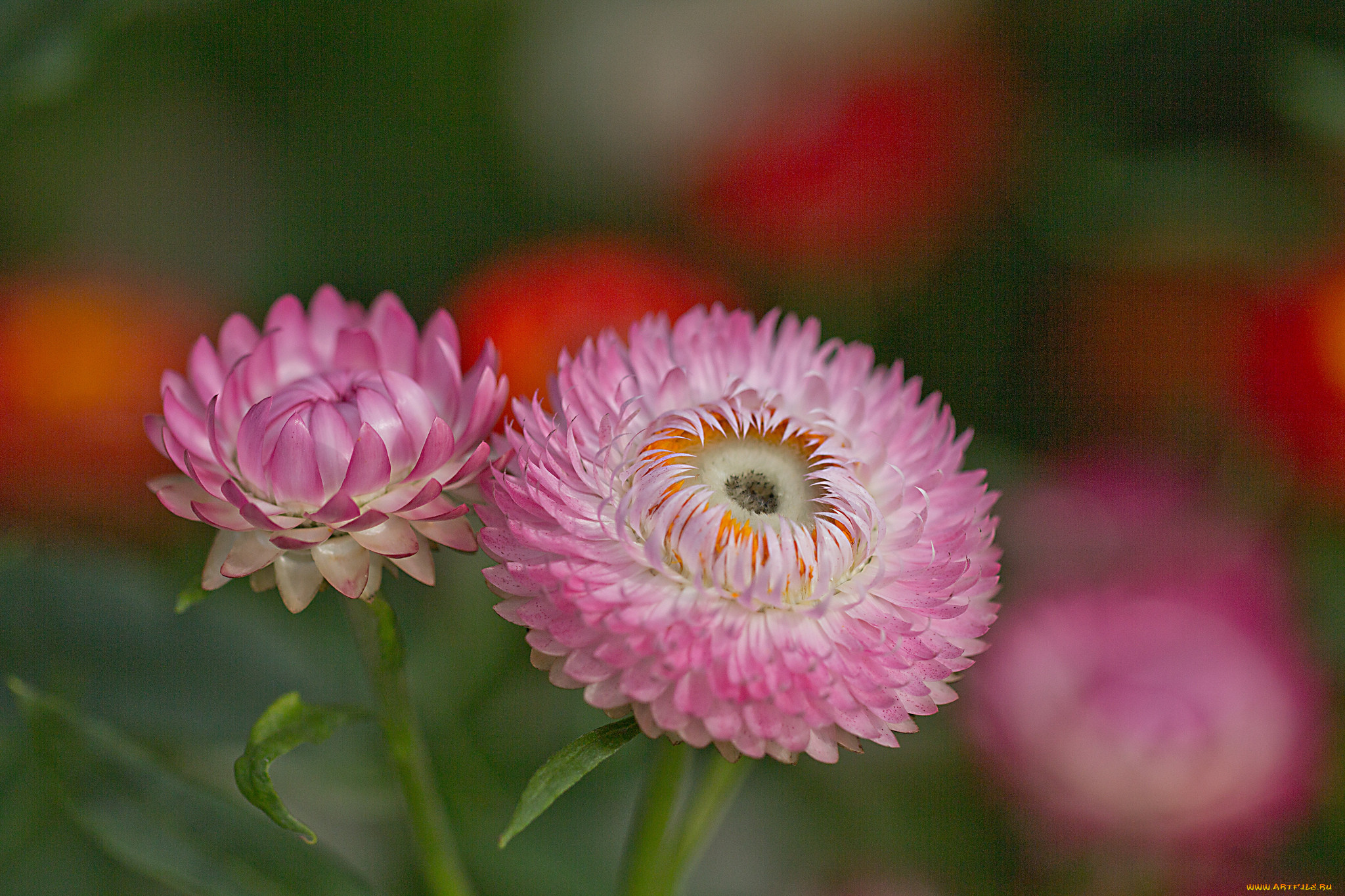 Цветы бессмертника фото